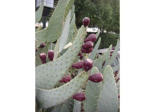 phx-cactus